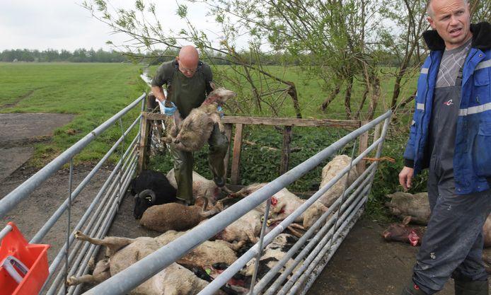 Het was de afgelopen periode vaak raak, zoals 15 dode schapen hier bij Culemborg.  Op de foto laat de veearts de nog levende schapen die zwaar gewond zijn inslapen.