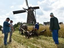 Winterrogge in Nuenen op ouderwetse wijze van het land gehaald: met oude tractor en trekpaard