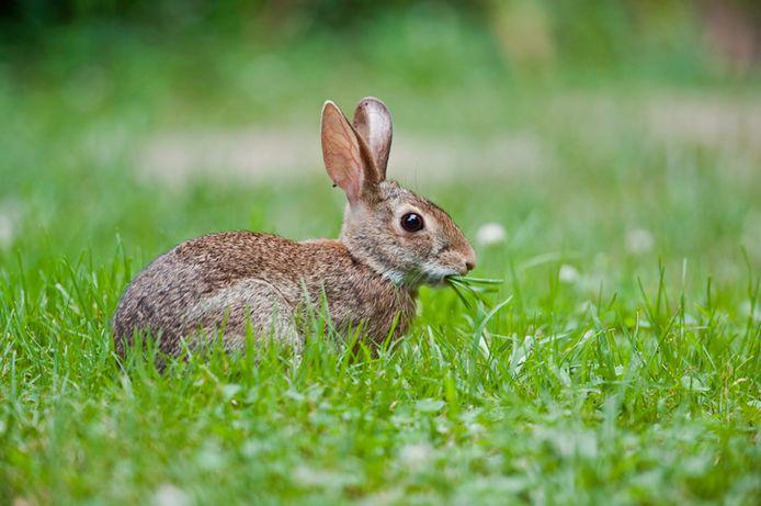 Een gezond wild konijn.