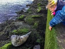 Poserende zeehond trekt veel bekijks in Hoek van Holland