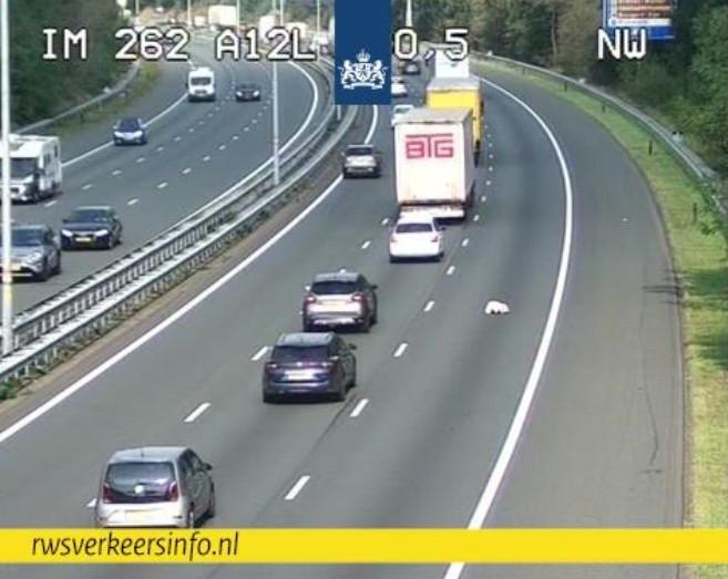 De knuffelbeer op de snelweg A12 bij Arnhem op camerabeeld van Rijkswaterstaat.