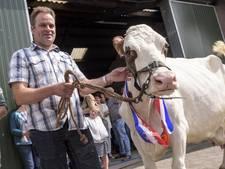 Knappe koe Dina wordt in het zonnetje gezet
