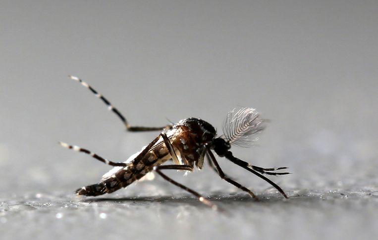 De Aedes aegypti. Beeld REUTERS