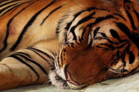 Beeld ter illustratie, tijger.