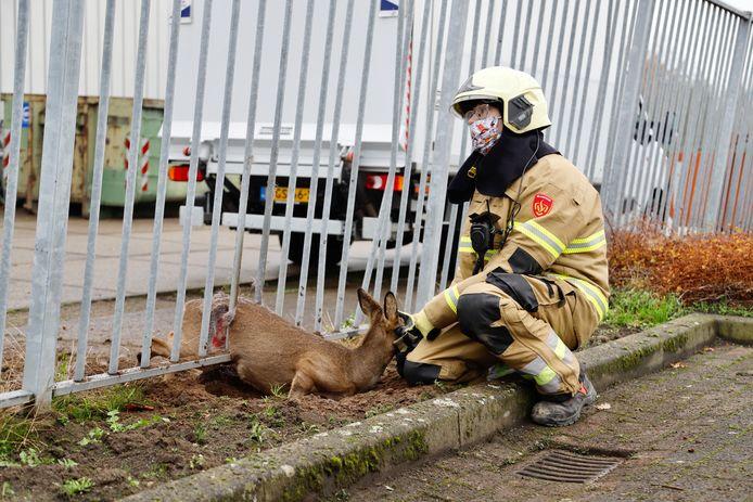 Een brandweerman stelt een ree gerust die zich in een hekwerk heeft vastgelopen in Cuijk.
