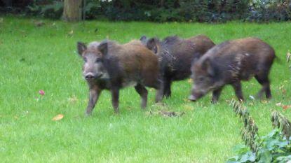 Drie nieuwe everzwijnen besmet met Afrikaanse varkenspest
