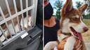 Links: zo vond de politie de opgesloten husky terug.