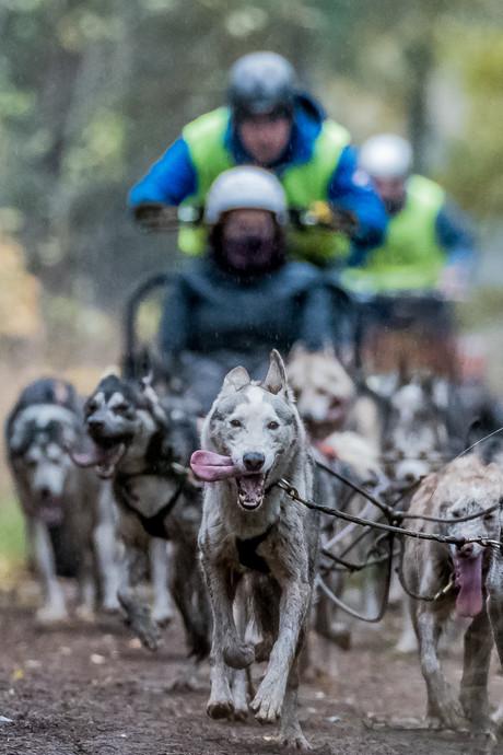 Ook zonder sneeuw rennen de sledehonden in Gilze