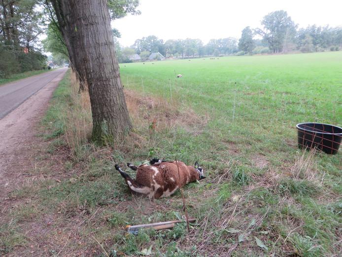 Dood schaap door loslopende hond schaapskudde Neede