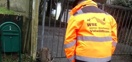 Wildbeheerder redt ree uit hek in Ouddorp: 'Ze zijn sterker dan je denkt'