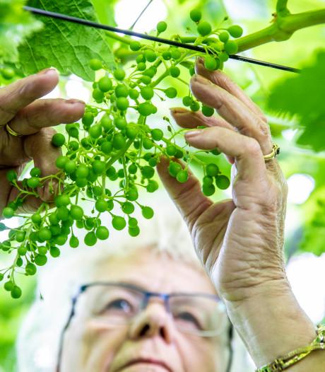 Westlandse Druif legt basis voor druivenoogst: krenten levert mooie trossen op