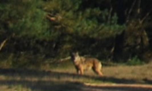 De wolf die gezien is op de Veluwe.
