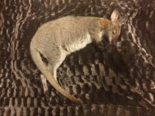 Zwervende wallaby Jump doodgereden op 100 meter van huis in Putten