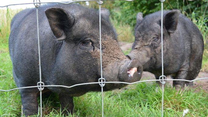 Gedumpte hangbuikzwijntjes hebben nieuwe thuis gevonden na oproep op HLN.be
