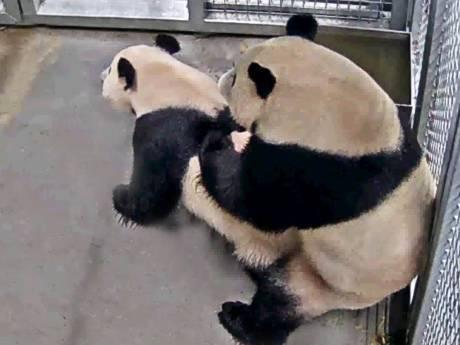 Parende panda's trekken veel bezoekers naar Ouwehands