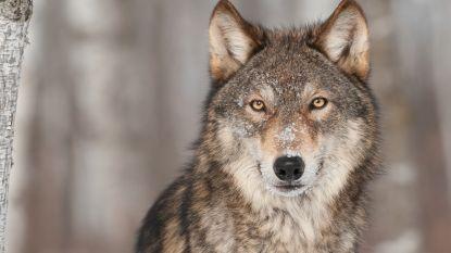De wolf is helemaal terug. Wat eet hij graag? Is uw huisdier in gevaar? Kan hij paren met uw hond?