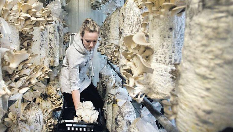 Een medewerkster van Gro-Holland verzamelt de op koffieprut gegroeide oesterzwammen, waarna zij naar de restaurants van La Place gaan, de leverancier van de koffieprut. Beeld Olaf Kraak
