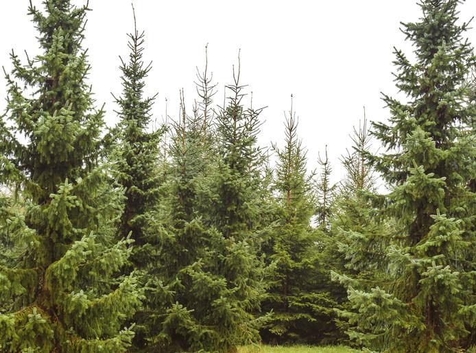 De Eerste Kerstbomen Zijn Al Verkocht Breda Bndestem Nl