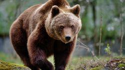 """Vrijgelaten beer veroorzaakt problemen in Pyreneeën: """"abnormaal roofzuchtig"""""""