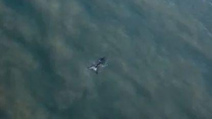 Prachtige dronebeelden opgedoken van Groenlandse walvis aan de Vlaamse kust