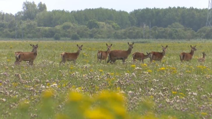 Staatsbosbeheer schiet het eerste hert af