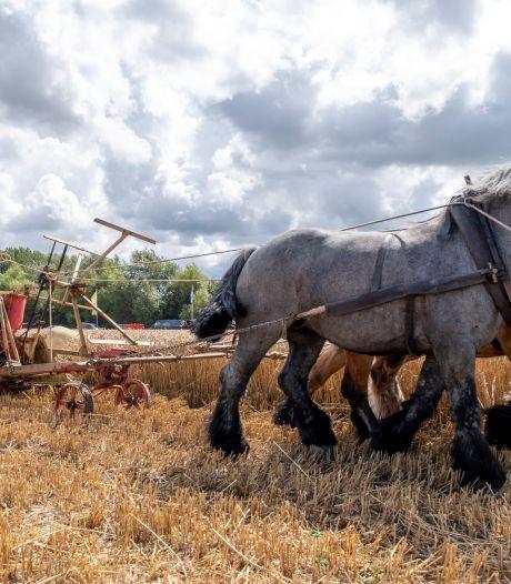Oogstdemonstratie met trekpaarden