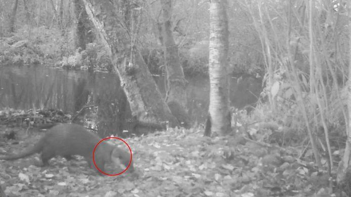 Op de beelden is te zien dat de ottor een plastic ring om zijn nek heeft.