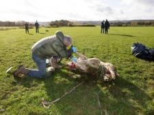 Schaap mogelijk gegrepen door wolf in Ooijpolder: DNA-monster 'dader' afgenomen