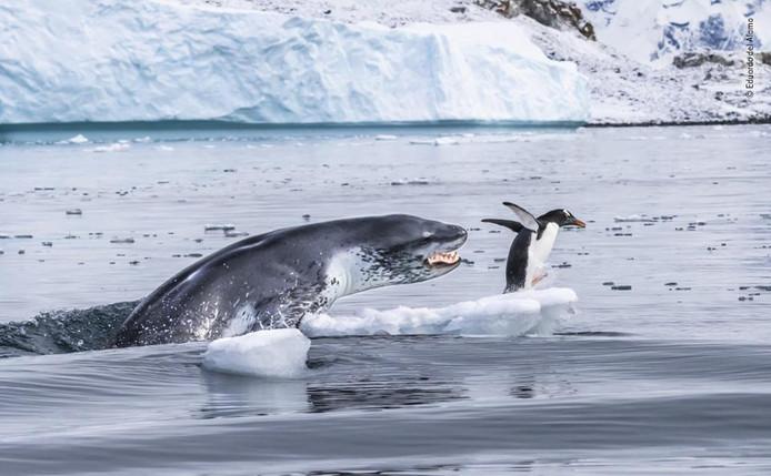 De snelste. Een supersnelle ezelspinguïn ontsnapt nog even op de zuidpool aan de kaken van een net zo snelle zeeluipaard. Na een jacht van een kwartier werd de pinguïn toch opgegeten. Wildlife Photographer Of The Year