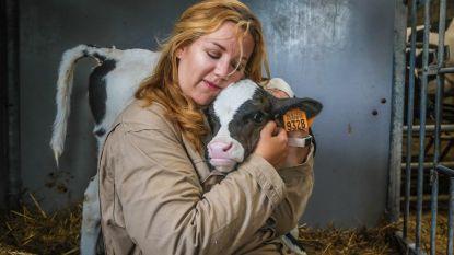 Uitgetest: ontstressen door koeien te knuffelen