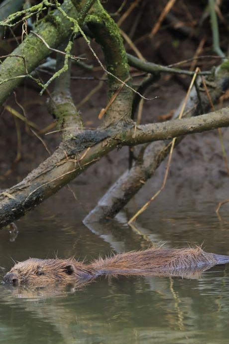Zelf een bever zien? Dordrecht en Altena zijn de hotspots in ons land voor een waarneming
