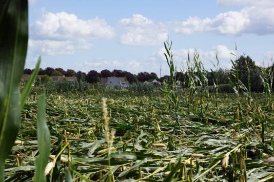 Zeker de helft van alle maisplanten op deze akker in Dinxperlo is omgewaaid.