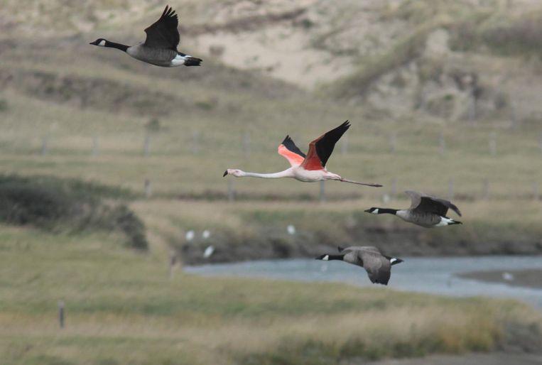 Helmut, de Chileense flamingo, met zijn vrienden de Canadese ganzen.