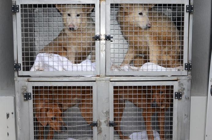 Dierenbescherming nam onlangs honderd sterk verwaarloosde honden bij Animal House in Lettele in beslag.