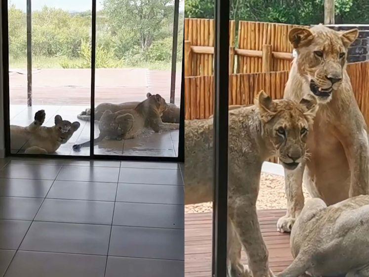 David krijgt de schrik van zijn leven: zes leeuwen liggen op het terras van zijn vaders woning
