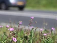 Roze bloempjes floreren in Zutphen en Deventer dankzij de droogte
