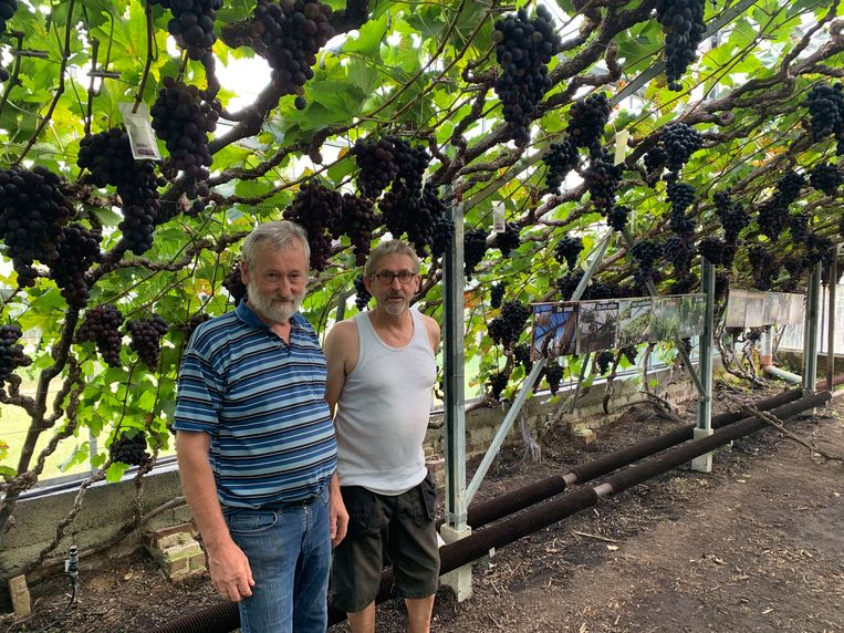 Pips en Flup Luppens in hun wijngaard.