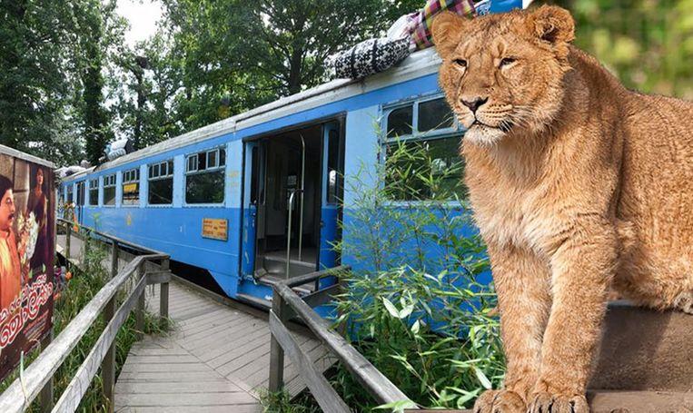 Het treintje waarin de bezoekers zich verschansten en leeuwin Rani.