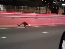 Politie achtervolgt wallaby op beroemde Sydney Harbour Bridge