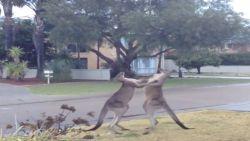 Kickboxende kangoeroes kunnen stevig kloppen