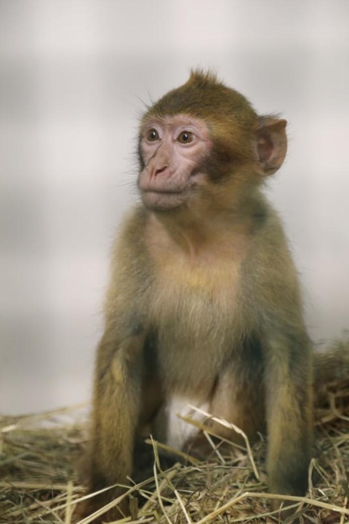 Het berberaapje toen hij nog in het Natuurhulpcentrum in België zat