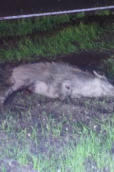 Overstekend zwijn overleden na aanrijding in Voorthuizen