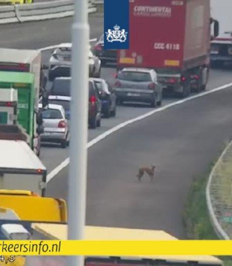 Een van de loslopende honden op A16 bij Moerdijk aangereden en overleden