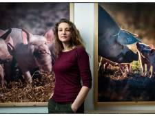Varkens stikken twee dagen voor slacht: 'Misschien zijn ze nu wel beter aan hun einde gekomen'