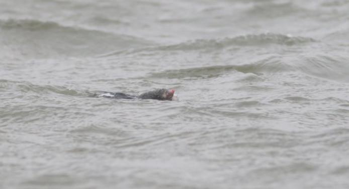 Een mol zoekt al zwemmend een beter plekje waar hij droge voeten houdt.