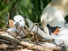Vijandige zwanen terroriseren zwanenweduwe en kuikens in Den Bosch: 'Ze denken dat ze de baas zijn'