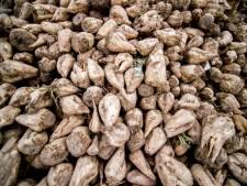 Vlaamse bieten in suikerfabriek Dinteloord verwerkt