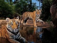 Zeven personen gedood door tijgers in India