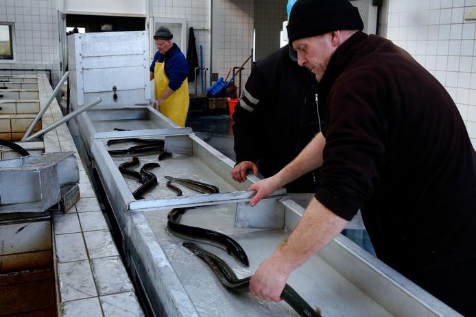 Paling bij een bedrijf in Groot-Ammers.  Hoewel internationaal beschermd, mag paling wel worden gevangen en geconsumeerd.