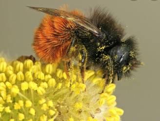 Lanaken wordt wilde bijenvriendelijke gemeente